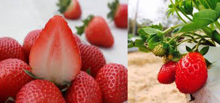 สตอเบอร์รี่ผลไม้ที่มีประโยชน์