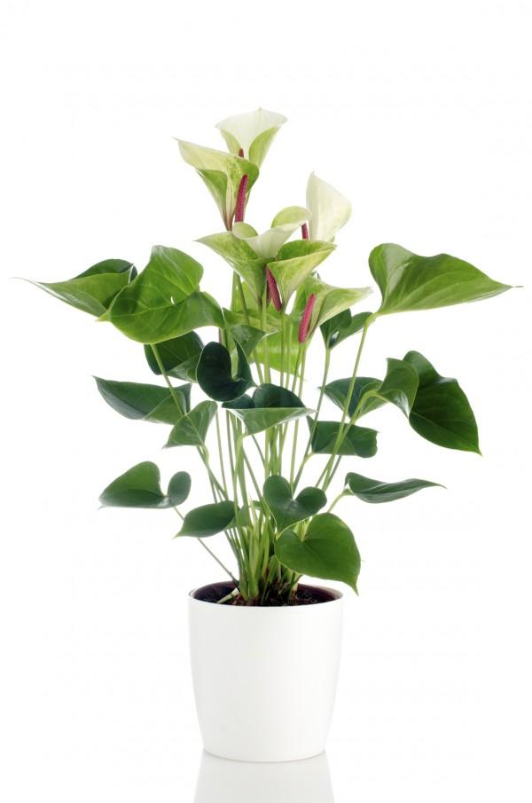 เสน่ห์จันทร์แดง (Araceae)