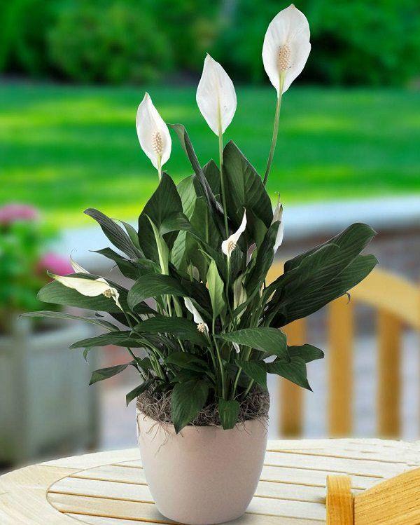 เดหลี (Peace Lily)
