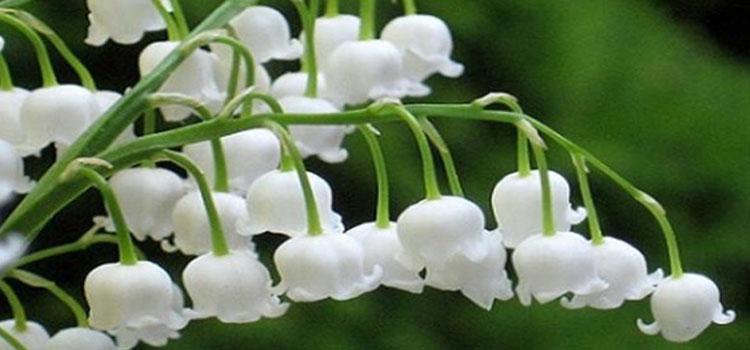 ลิลลี่ออฟดอวัลเลย์ Lily of the Valley