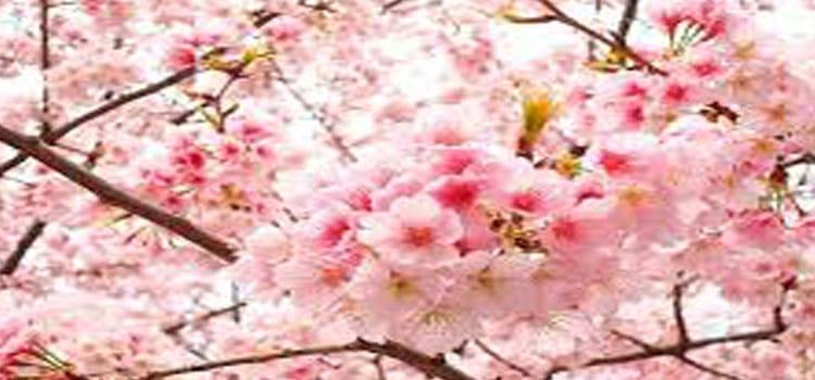 ซากุระ Cherry Blssom