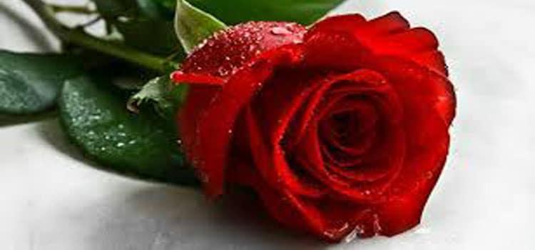 กุหลาบ Rose