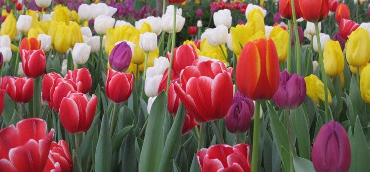 ทิวลิป Tulip