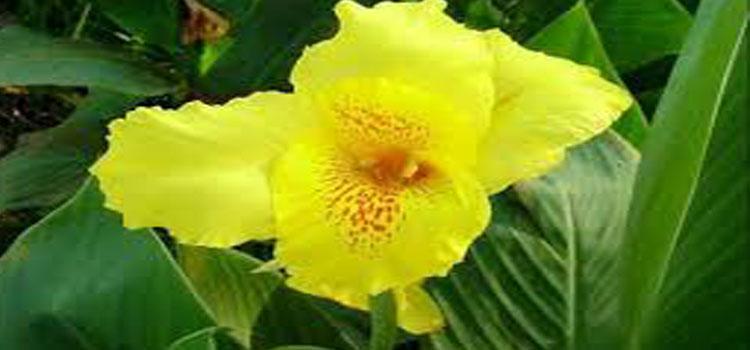 ดอกพุทธรักษา Canna