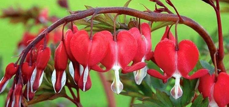 ดอกโลหิตแห่งหัวใจ หรือดอกหทัยหยาดทิพย์ Bleeding Heart