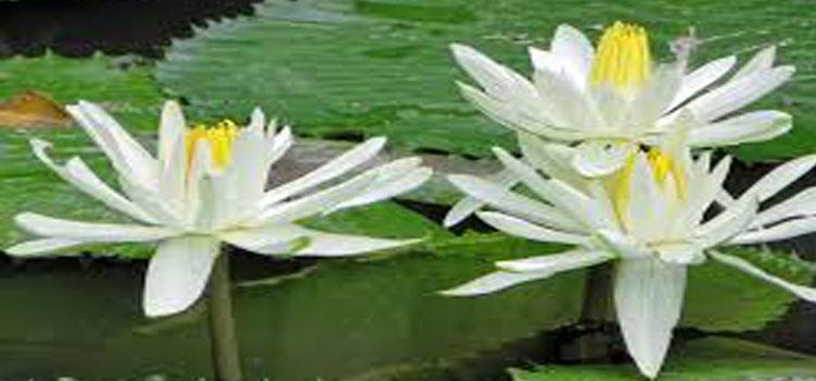 ดอกบัวขาว White Lotus