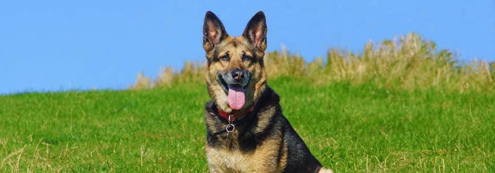 สุนัข 10 สายพันธุ์ที่มีความดุร้าย สุดโหดของโลก 1